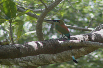 Motmot viewed at Arenal Hanging Bridges with Desafio.