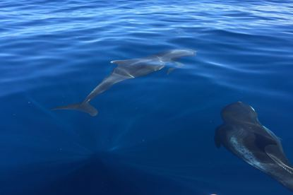 Dolphins in the Pacific Ocean near Playa Carillo.