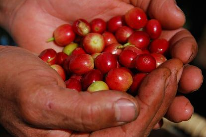 learn about coffee production in Costa Rica with Desafio.