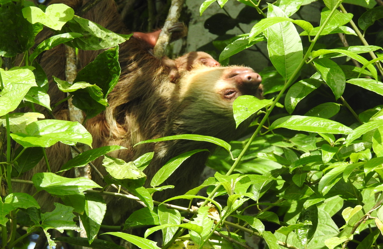 Where is the best place to see sloths in La Fortuna?