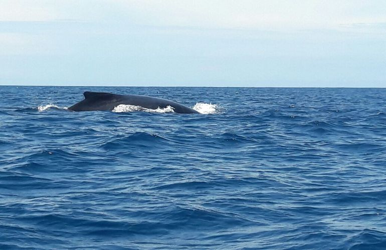 A whale surfaces for air in the Pacific Ocean