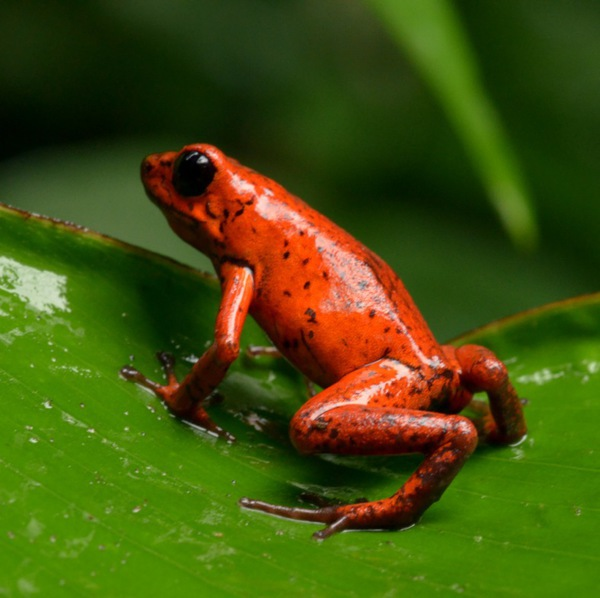 Support, enjoy and learn about the only wild frog sanctuary in the Arenal Volacano Area!