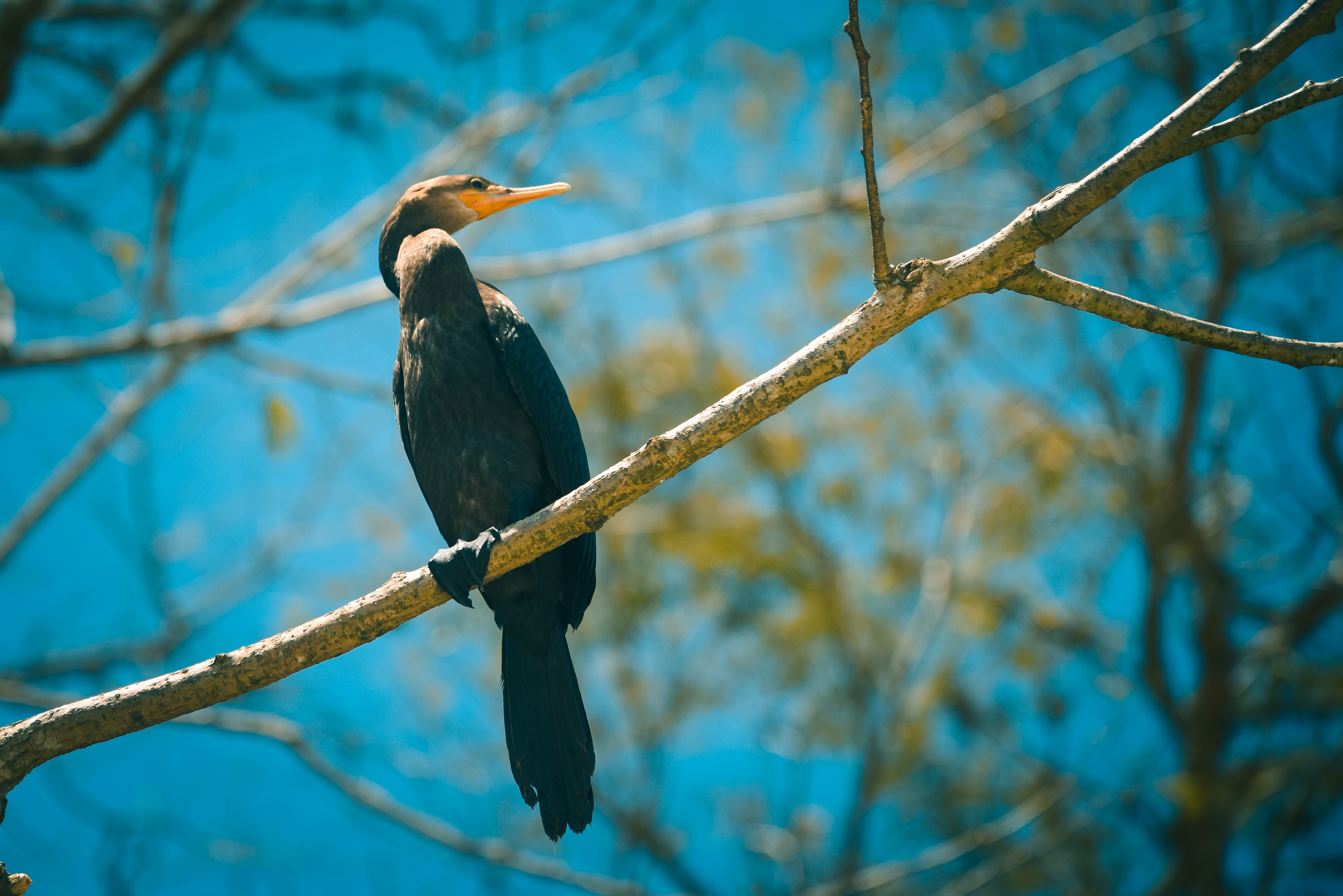 Find a great opportunity to enjoy the amazing Neotropical Cormorant!