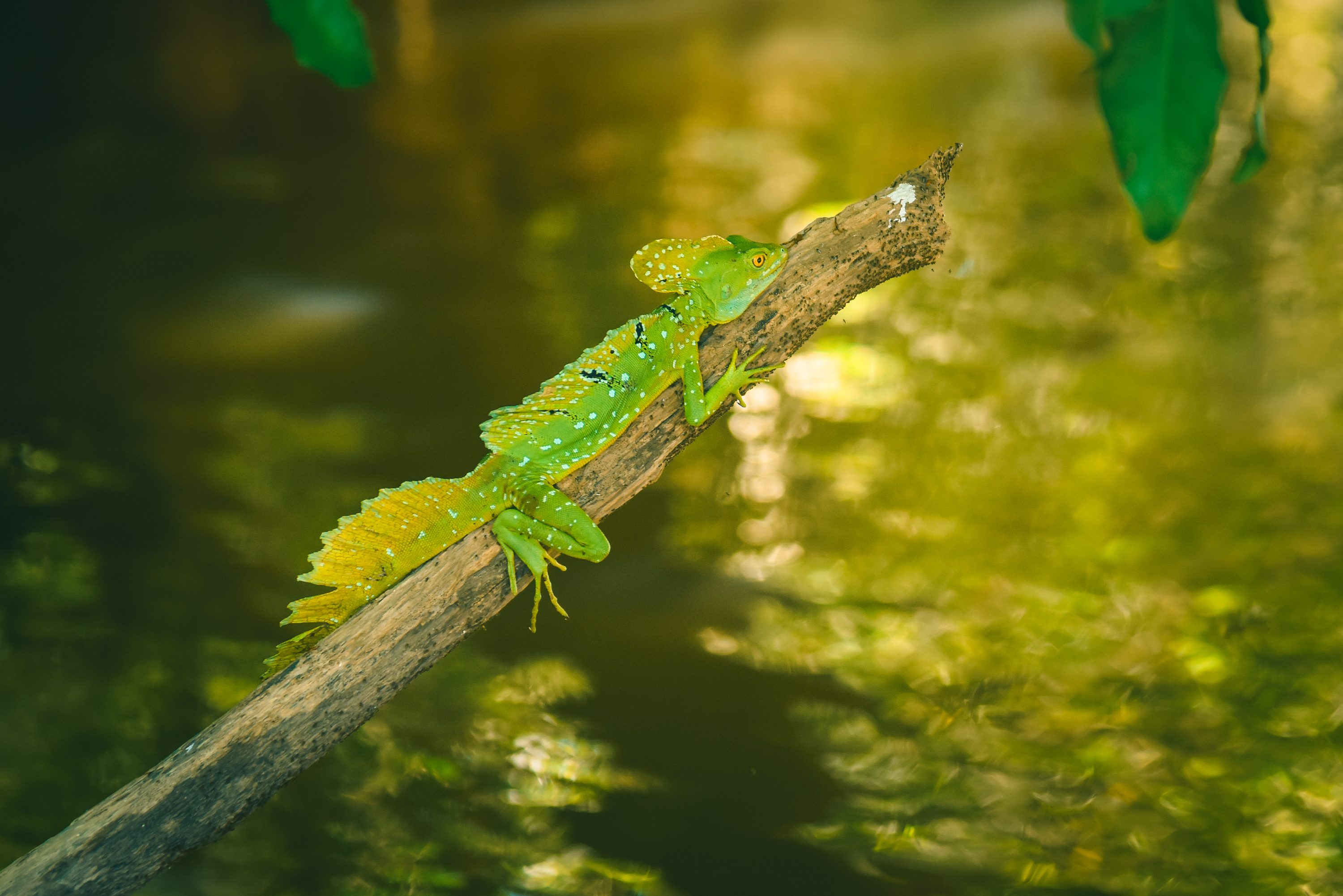Perfect Jesus Christ Lizard, this extraordinary reptile may run on water when threatened!