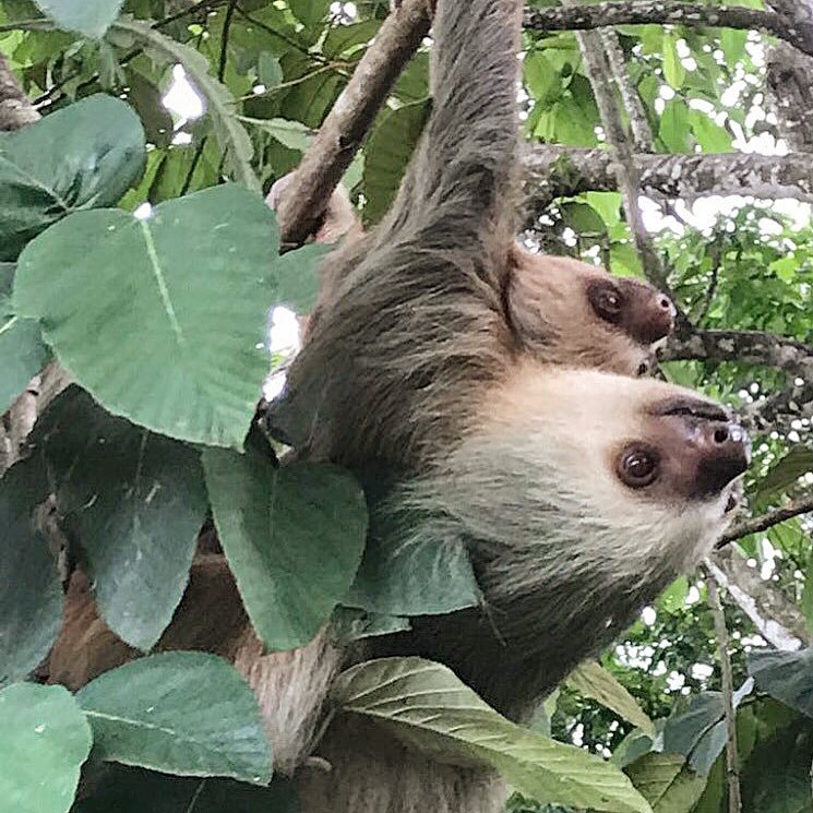 The best way to see sloths near the Arenal Volcano with Desafio Adventure Company.