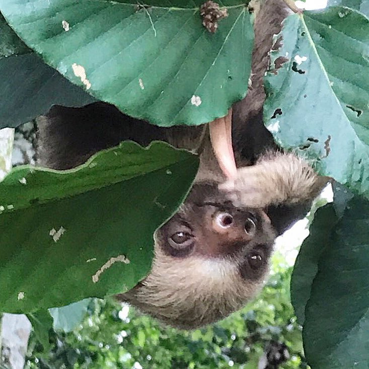 See sloths with us near the Arenal Volcano.