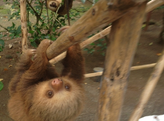 A sloth in Jaguar Recue Center, Costa Rica!