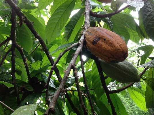 Chocolate plantain in Puerto Viejo!