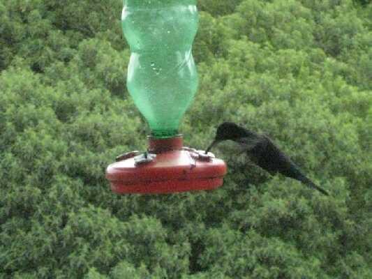Humming Bird Gardens in Costa Rica!