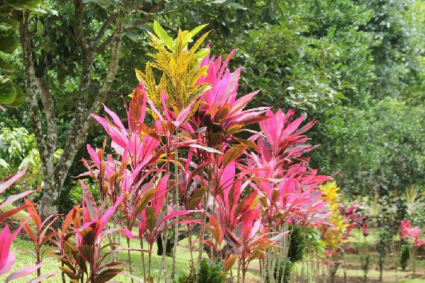 The bright pink and beautiful tropical plants hat line the pathway.