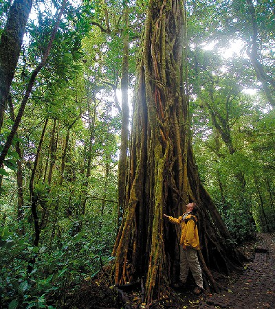 The large old-growth trees in the cloud forest of Monteverde, Costa Rica.