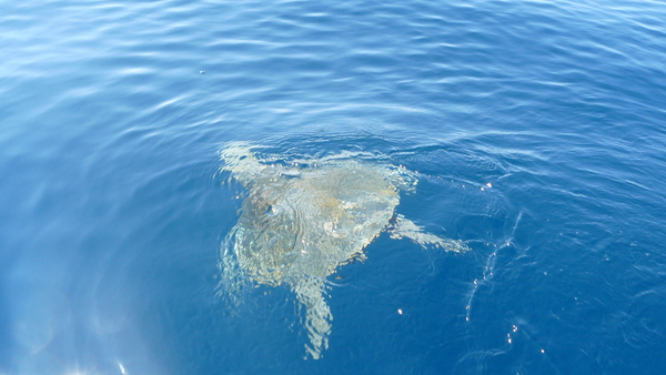 The giant sea turtles in Marino Bellena National Park.