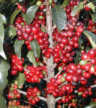 This is what coffee beans look like fresh on the plant.