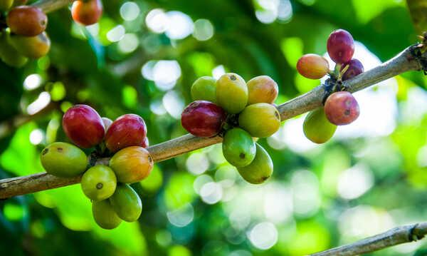 Don Juan Coffee Beans