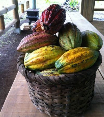 Cacao pods ready to be made into chocolate.