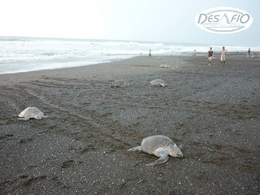 It is truly amazing to observe turtles laying their eggs in the Samara area!