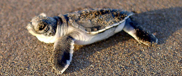 See baby turtles at Turtle Beach Lodge in Tortuguero.