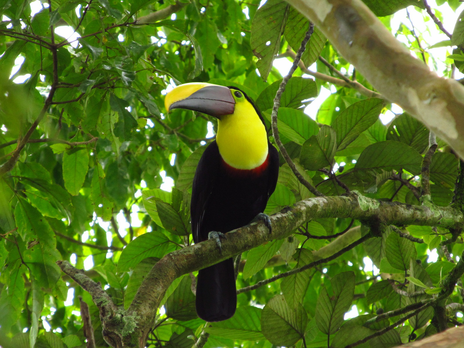 Beautiful Toucan! Its oversized, colorful bill has made it one of the worlds most popular birds.