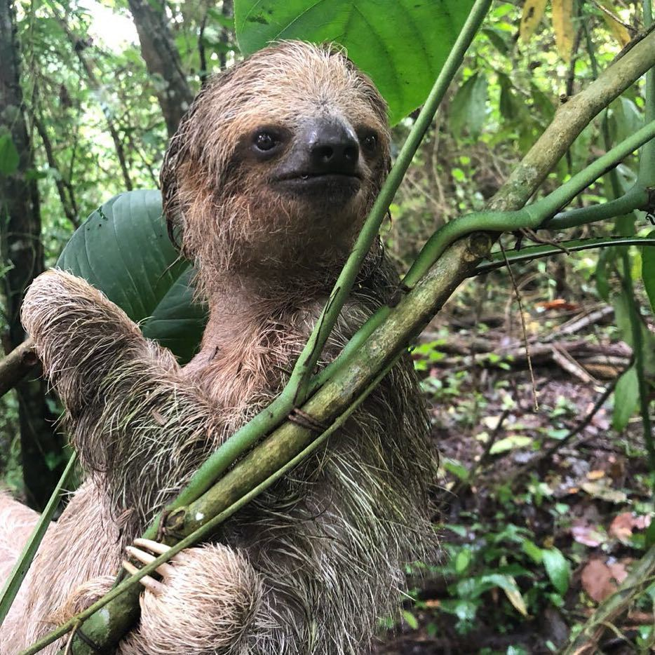 We love sloths at Desafio Adventure Company. Come spot sloths with us.