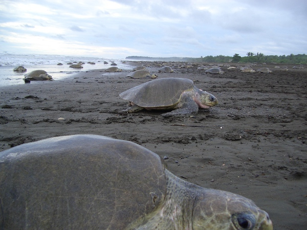 Turtles laying their eggs just a few minutes away from Pachira Lodge in Tortuguero.