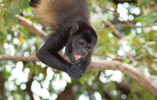 Howler Monkeys in Costa Rica offer Impressive Jungle Sound Effect